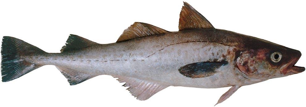 Сколько по времени и как правильно варить рыбу минтай?