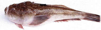 Опасные рыбы черного моря фото и названия